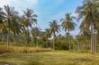 coconut plantation in Thailand