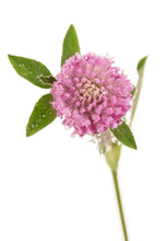 Macro Blooming Clover Isolated...