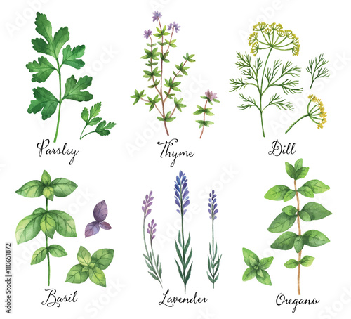 Watercolor vector hand painted set with wild herbs and spices.  - 110651872
