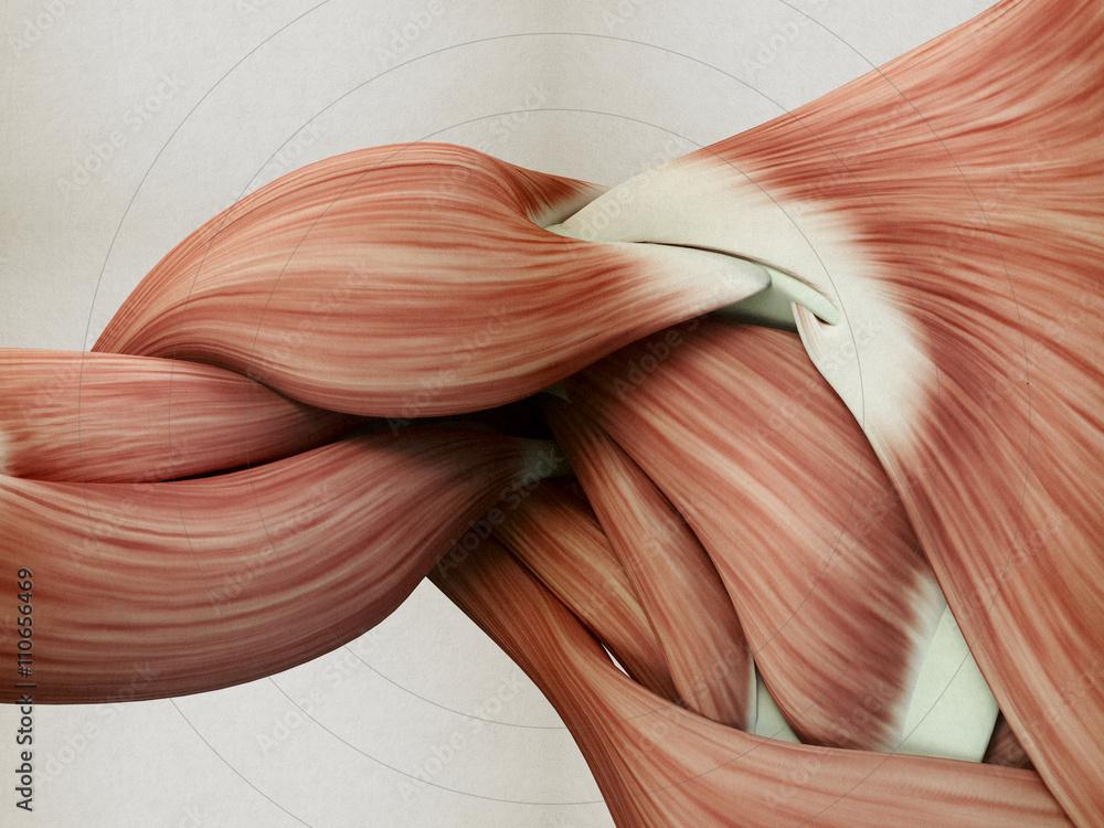 Menschliche Anatomie Muskelschulter. 3D-Darstellung. Foto, Poster ...