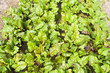 Beet plants.