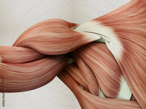 Photo Human anatomy muscle shoulder. 3D illustration.