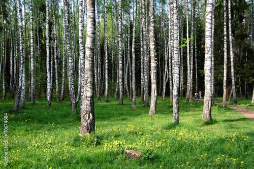 Photo sur Toile Bosquet de bouleaux Beautiful birch grove for your relax.