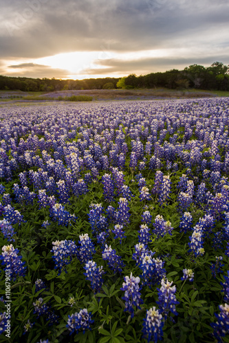 Foto op Aluminium Texas Beautiful Bluebonnets field at sunset near Austin, Texas.
