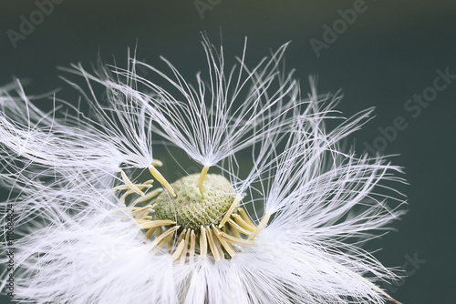 Foto auf Gartenposter Lowenzahn white fluffy dandelion flower in detail