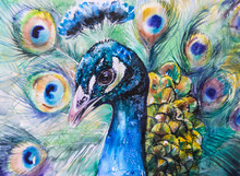 Portrait Of Peacock.Picture Cr...