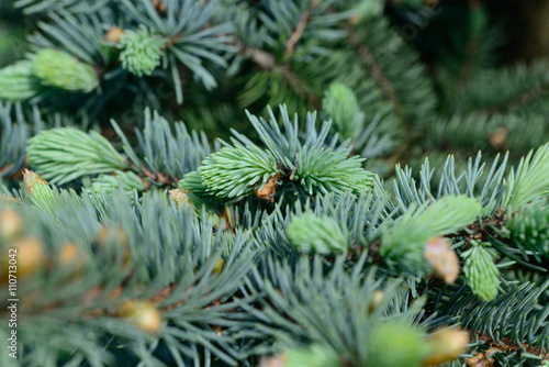 Garden Poster Roe Fresh pine buds for syrup. Pine bud syrup is very healthy and you can treat aliments such as: asthma, chronic bronchitis, pharyngitis, laryngitis, coughs, colds, tonsillitis, flus, and allergies.