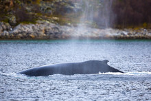 Large Humpback Whale In The Ar...