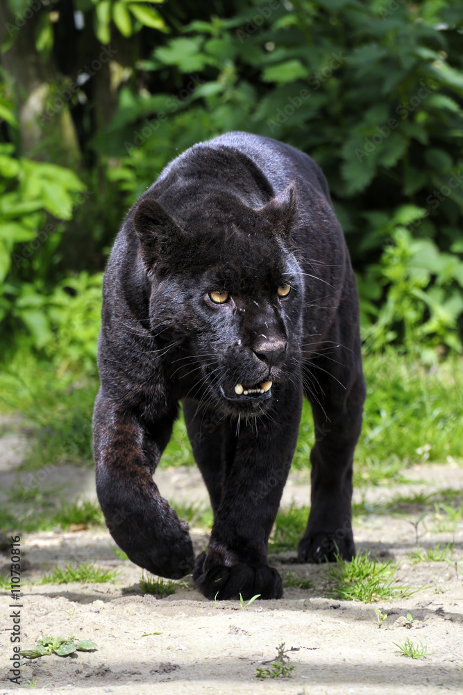 Fotografie, Obraz Black Jaguar - walking towards viewer