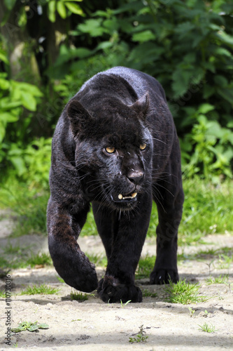 Aluminium Prints Panther Black Jaguar - walking towards viewer