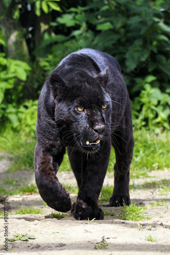 Black Jaguar - walking towards viewer - split toned