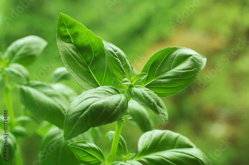Grün frischem Basilikum Fototapete