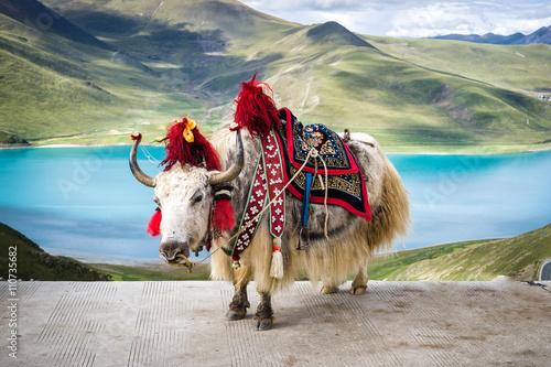 Obraz na plátně Decorated white tibetan yak at the Yamdrok lake in Tibet, China