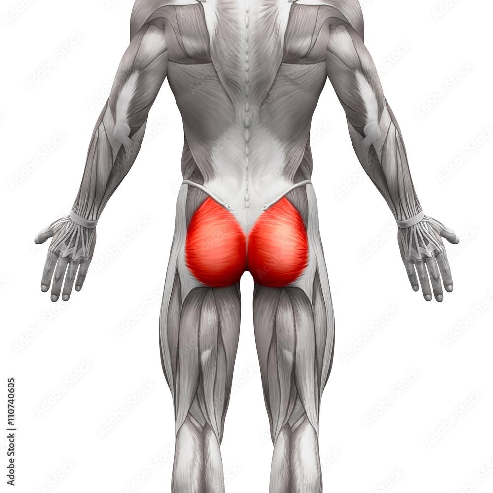 Photo Art Print Gluteal Muscles Gluteus Maximus Anatomy