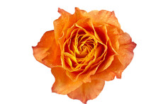Macro Shot Of Orange Rose
