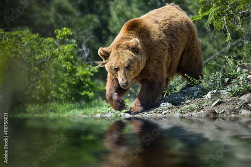 Obrazy na płótnie Canvas bear in forest