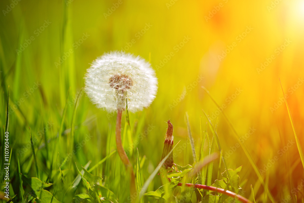 Fototapety, obrazy: Blown dandelion in green grass. Spring nature background