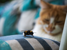 Bumblebee On A Pillow. Backgro...