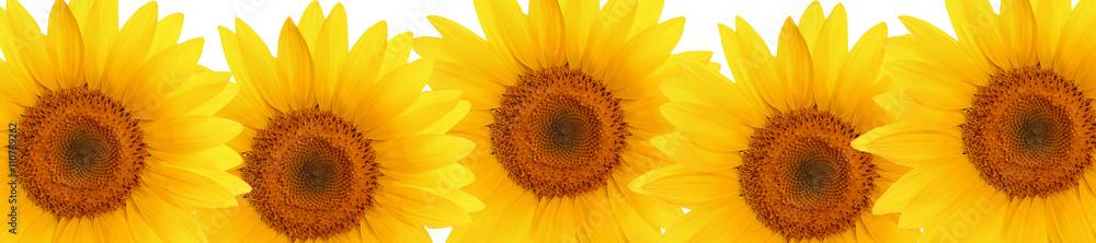 header web  panorama sunflower flower full length