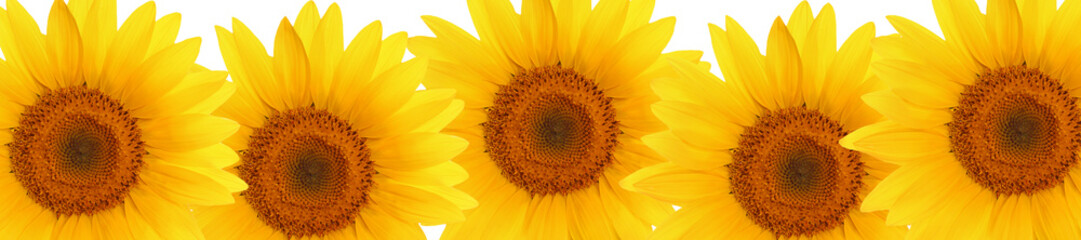 Fototapetaheader web panorama sunflower flower full length