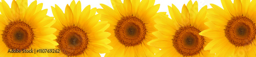 header web  panorama sunflower flower full length - 110769262