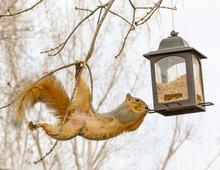 Squirrel Stealing Food