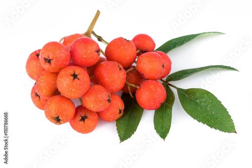 Fotografie, Obraz  Rowan berry (Sorbus aucuparia). Closeup.
