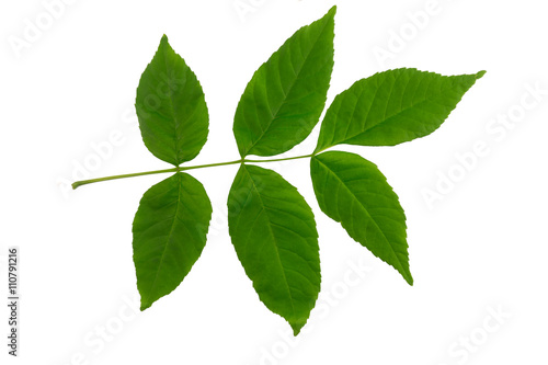 Fraxinus Leaf