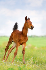 Bay foal run on spring pasture