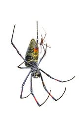 Male and female golden silk orb-weaver spider on white background