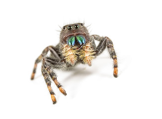 Jumping Spider-white background