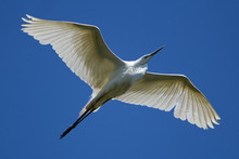 Great White Egret Flying In The Blue Sky Background