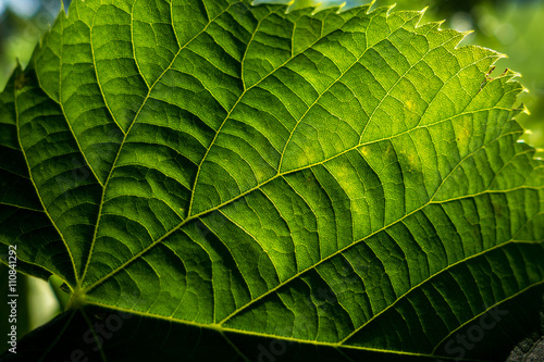 Fotografija  Nervature di una foglia verde  di geranio in controluce