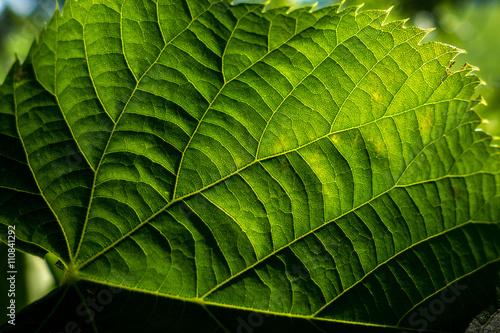Valokuva  Nervature di una foglia verde  di geranio in controluce