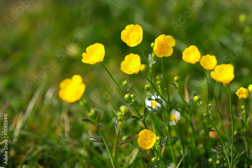 Photo Meadow Buttercup (Ranunculus acris), close-up of flower
