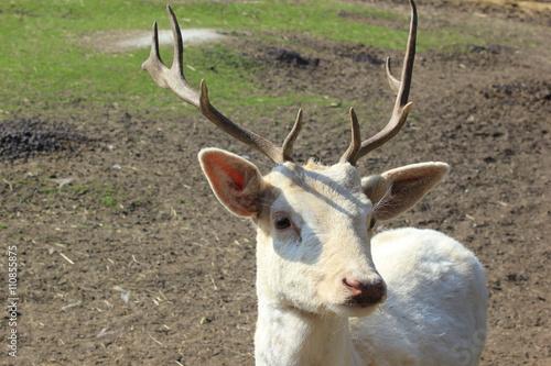 Fotografie, Obraz  Sage: Ein weißer Hirsch (Damhirsch, Damwild) in einem Zoo (Jagd)