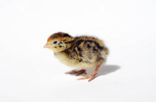 Adorable Yellow Baby Quail Newly Hatched On A White Background
