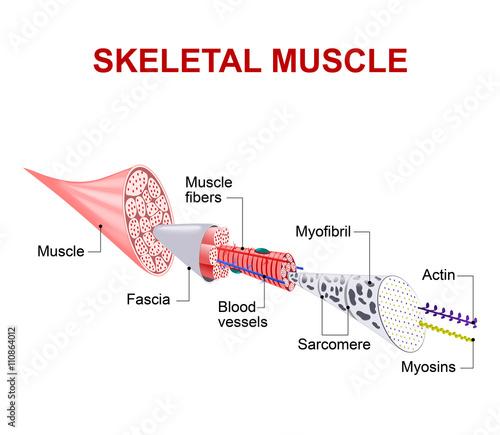 Fotografie, Tablou  Structure of skeletal muscle