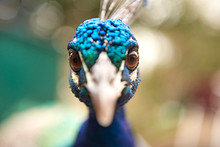 Close Up Portrait Of Staring Blue Peacock