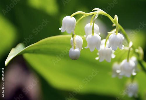 Blossoming lily of the valley in the forest. Lily-of-the-valley. Convallaria majalis.Spring background. Floral background.Selective focus.