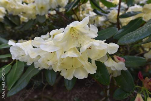 Foto  Rhododendron Barbara Hardgrove