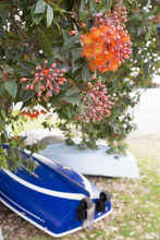 Boats Under Pohutukawa Tree, NZ