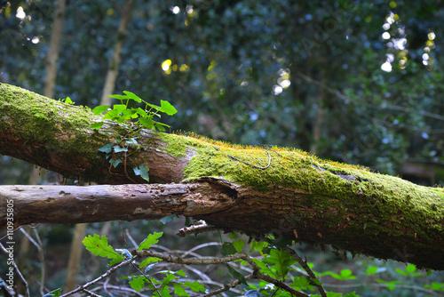Fotografie, Obraz  Škumpa jedovatá rostoucí na mechový kmen stromu v listnatý les