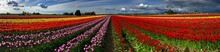 Colorful Panorama Of Tulip Fie...