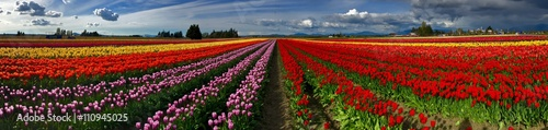 Foto auf Gartenposter Violett rot Colorful Panorama of Tulip Fields and Sky with Clouds. Scagit Valley Tulip Festival, Mount Vernon, Washington State, USA.