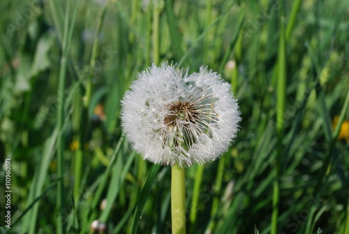 blowball the downy head or pappus of the dandelion with dew early