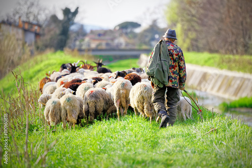 Stampa su Tela Tuscan shepherd grazing with sheep