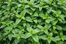 Mint Spearmint Plant Green Leaf Growing
