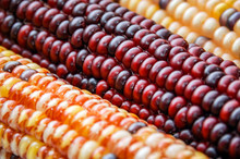 Flint Indian Corn Close-Up Pic...