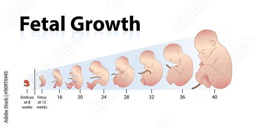Fényképezés  Fetal Growth